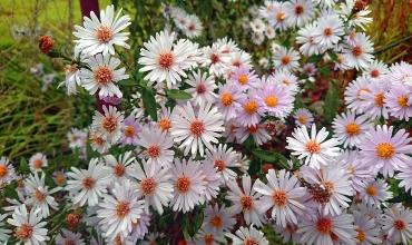Астра – цветок, сошедший с небес