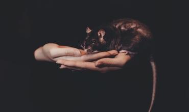 Крысы по годам рождения в восточном гороскопе