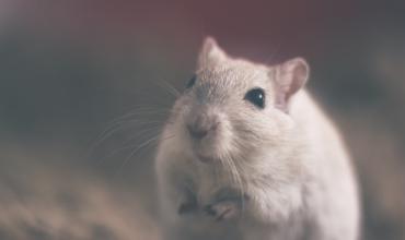 Совместимость Крысы с другими знаками гороскопа