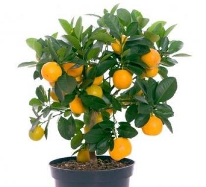 Цитрусы на подоконнике: комнатные апельсины, лимоны, мандарины