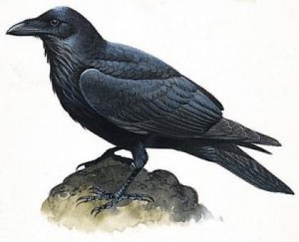Год Ворона – зороастрийский гороскоп на 2013 год