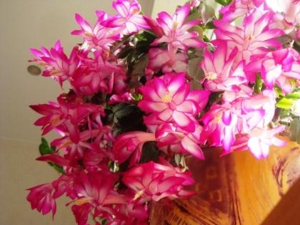 Декабрист – рождественский кактус
