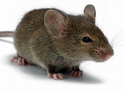 Приметы о мышах и крысах