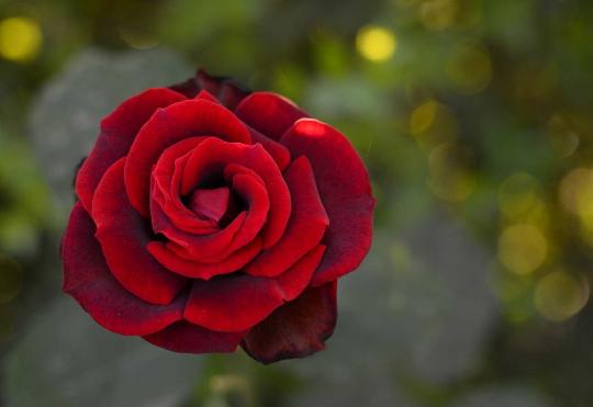 Цветок розы